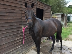 16hh trotter mare
