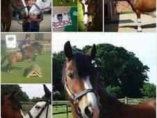 Winmark Rocky! ☆ 1 in a billion pony! ☆ Welsh section C
