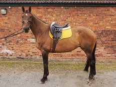 Potential Eventer/Dressage Lux Z Mare