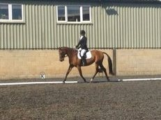 Perfect dressage well bred holstein 16hh mare