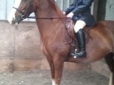 Beautiful quiet chestnut mare