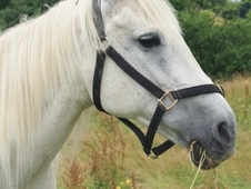 Beautiful PBA grey broodmare and Yearling for sale