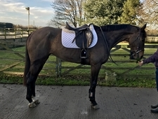 Potential eventer. Elegant, quality with movement to got with it.
