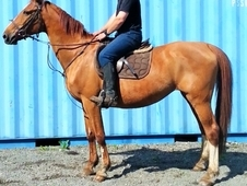westfalian dressage hack broodmare fantastic bloodlines