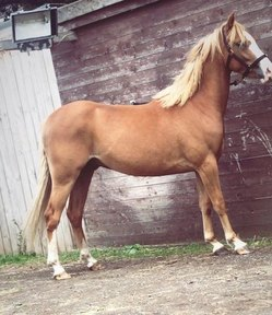 Welsh, gelding rising 3 year old