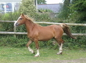 SMART SHOW QUALITY FULL WELSH COB SECTION D GELDING WITH EXCELLENT BLOODLINES - POTENTIAL RIDE AND DRIVE WITH STRIKING MARKINGS