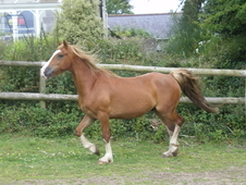Smart show quality full welsh cob section d gelding with excellen...