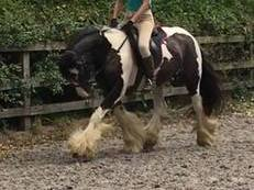Lovely Dot -Super Traditional Cob Mare