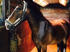 Gorgeous 10 yr old Gelding