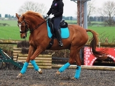 Talented 16.1 Selle Francais Gelding