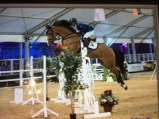 striking 16.3 bay gelding 7 yrs ish AR, RC HUNT, BSJA