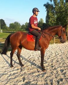 16.1hh 12yr old bombproof hacking horse