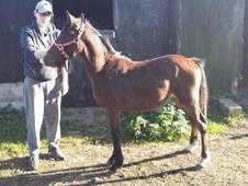 Section c colt yearling