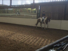 Warmblood 16hh mare dressage or BE prospect