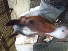 Lovely 14. 2 coloured gelding