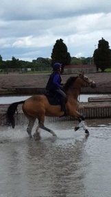 Dun mare for sale 15.3hh