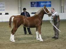 Welsh Section D Mare for sale - SOLD