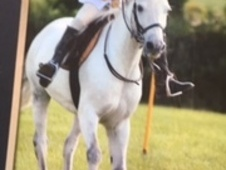 12hh Grey Gelding 13 yrs old