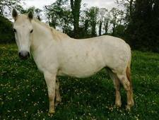 ***SOLD***Unbroken Class 1 Connemara broodmare 10yr old