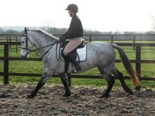 STUNNING 15 HAND, 5 YEAR OLD ALL ROUND REGISTERED CONNEMARA GELDING