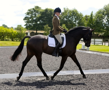 Eye catching dressage/show horse