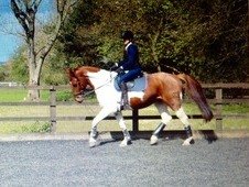 Reduced! Stunning coloured gelding 16. 2 5 years