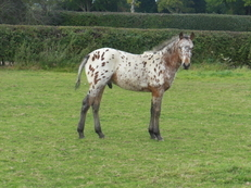 Yearling Registered Appaloosa Near Leopard Gelding