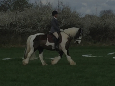 Super 14. 3 traditional coloured gelding