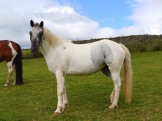 Sweetheart mare 4yr old 13.3h
