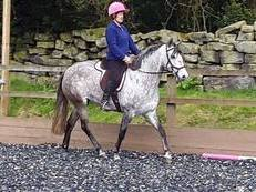 Absolutely stunning 14.3hh PRE Andalucian 5year old filly