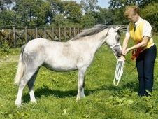 Welsh pony, Section A, Grey, Filly, 2 years Old