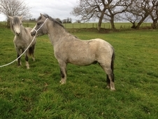 Welsh section A, grey gelding, 2 years