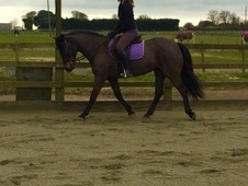* 14H Genuine all rounder mare *