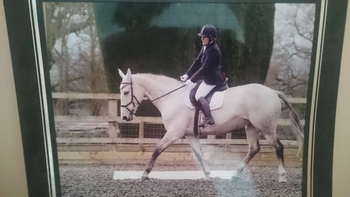 honest 16.2 Belgium warmblood mare
