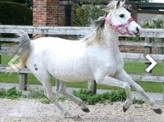 Arab Mare, 13 years allrounder, 15hh, Broken to traffic.