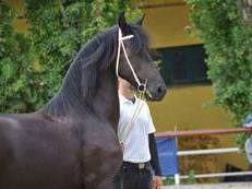Friesian for dressage and drive Mare STER quality