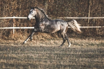 BAROQUE ANDALUSIAN STALLION- IN GERMANY
