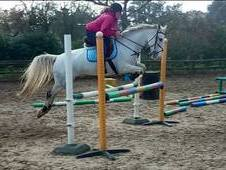 Talented 14. 2hh Mare