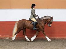 Stunning dressage pony for sale