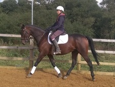 15. 1hh 5 year old family friendly gelding for sale