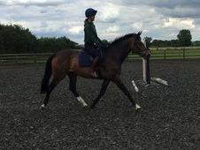 Super Quiet 16. 1h, 8 year old, Irish mare.