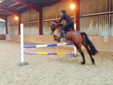 ALL ROUND STAR, event, dressage, SJ, showing! ! ! Hard to find su...