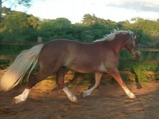 Absolutely stunning welsh section D gelding