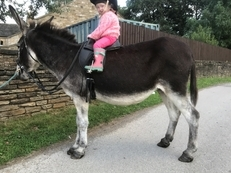 Miranda Ride and Drive 12hh Mare Donkey