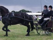 Ride & Drive Friesian Gelding