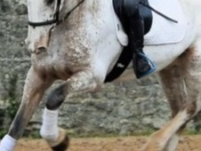 Stunning Appaloosa Irish Maxi Cob