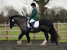 15.1hh, 13 years old, Super Vanner Cob