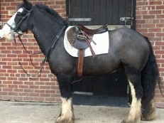Fun Traditionall Cob Gelding