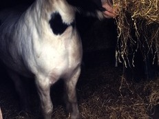 Lilly, 14.2hh stocky happy hacker cob