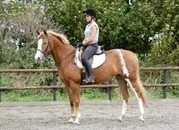 Stunning Showing/Allrounder 15:3hh, 7yrs ISH x